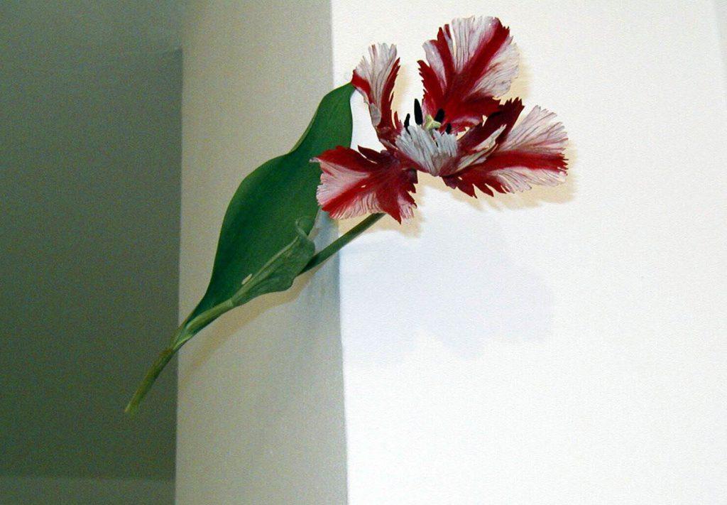 Suda, Yoshihiro Tulip (Fleming Parrot)
